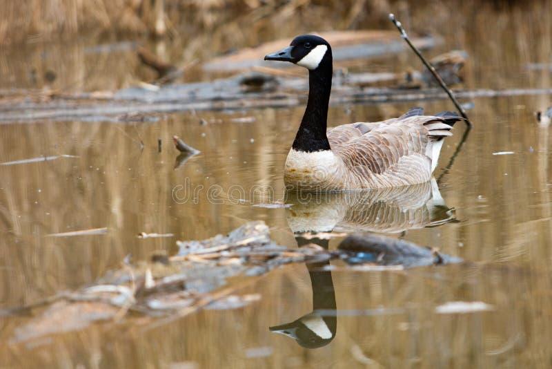 Shorebirds πουλιών πανίδας καναδικό εικονίδιο καναδοχηνών που κολυμπά τη λ στοκ εικόνα με δικαίωμα ελεύθερης χρήσης