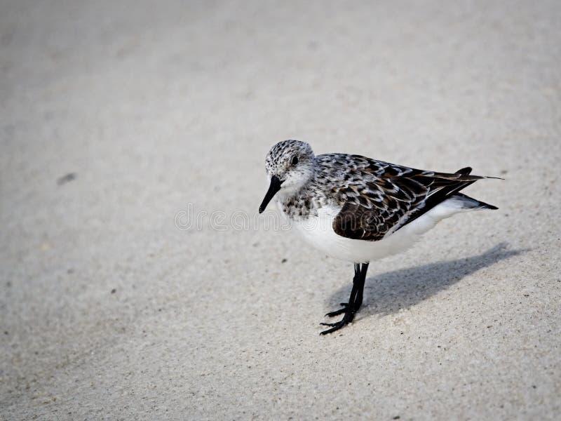 Shorebirds в AL берегов залива стоковая фотография