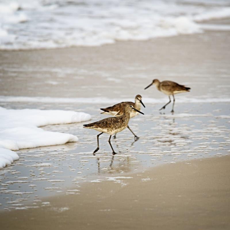 Shorebirds ища еда в берегах залива стоковое изображение