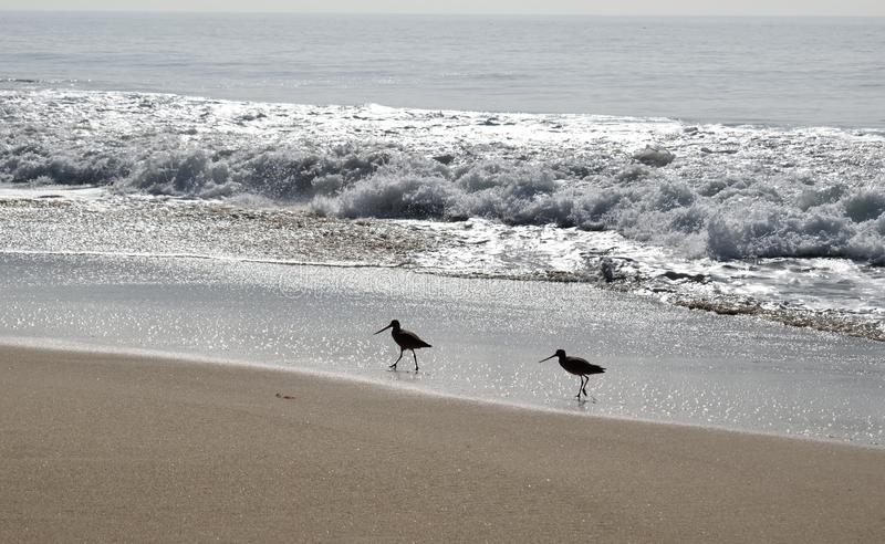 2 Shorebirds на пляже стоковые изображения rf