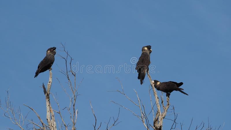Short-Billed Black Cockatoos royalty free stock images