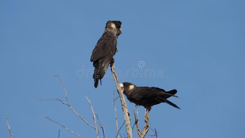 Short-Billed Black Cockatoos stock photography