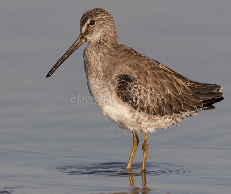 Download Short-billed Dowitcher stock image. Image of shorebirds - 13877575