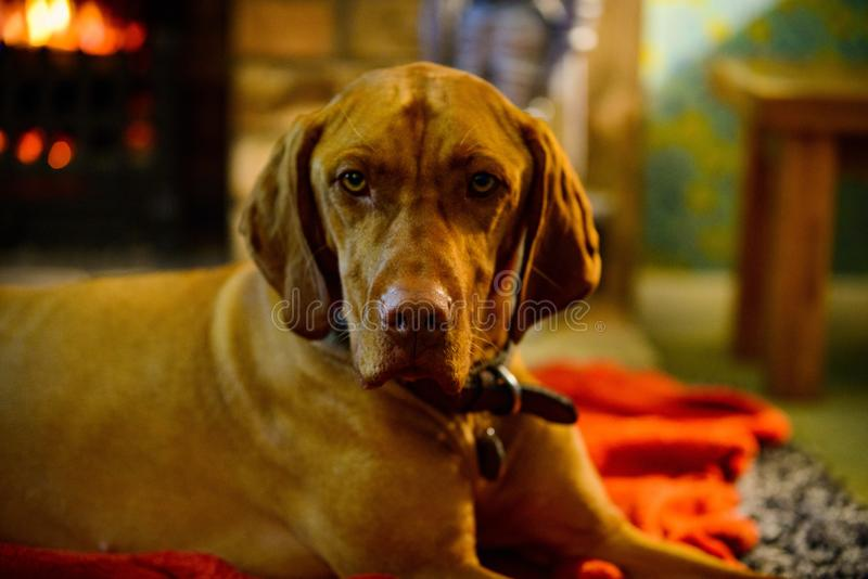 Short-coated Brown Dog in Selective-focus Photography stock photos