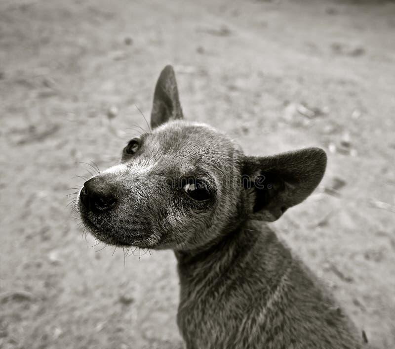 Short Coated Puppy Grayscale Photo Free Public Domain Cc0 Image