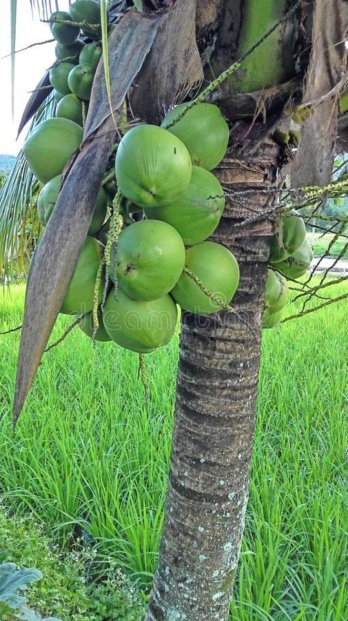 Short coconut tree in Malaysia. Short but full of fruit stock photo