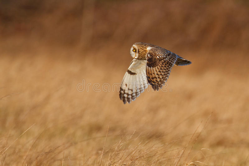 Short-eared сыч в Великобритании стоковое фото rf