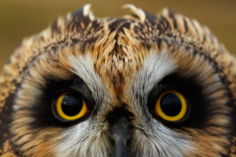 Short-eared Owl stock photos