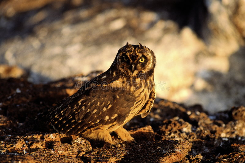 Download Short eared owl stock image. Image of nature, rocks, rise - 2628447