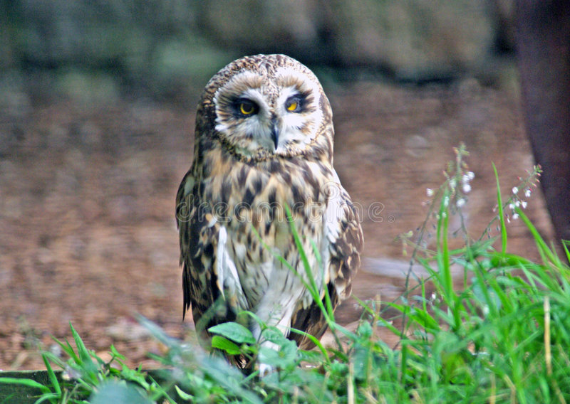 Short Eared Owl stock image
