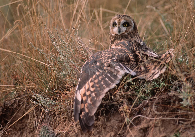Short eared owl (asio flammeus) royalty free stock photo