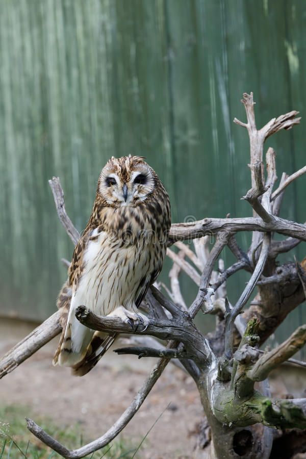 Short-eared owl Asio flammeus. Big bird short-eared owl Asio flammeusperched on dryed twig stock photos