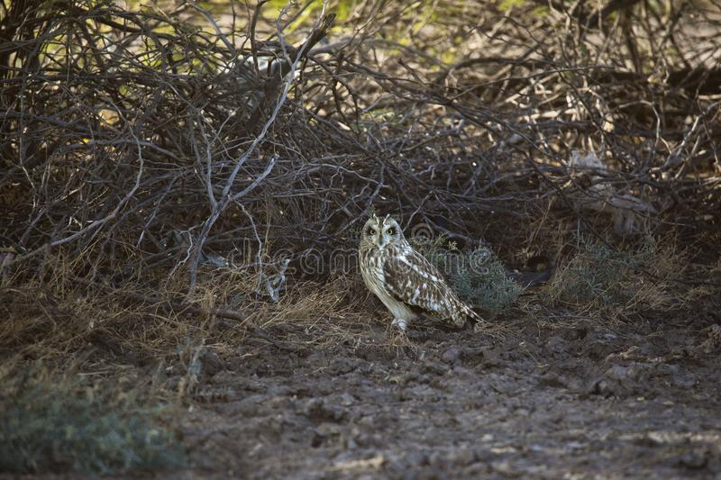 Short-eared Owl, Asio flammeus, Little Rann of Kutch, Gujarat. India stock photography
