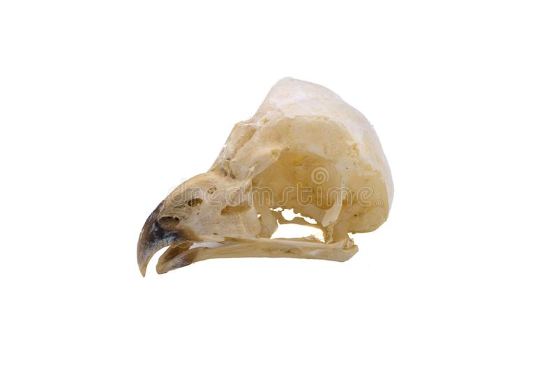 Short-Eared Owl Asio flammeus, owl skulls, nocturnal raptors. With white background stock photography