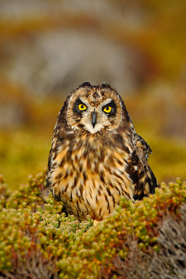 Short-eared Owl, Asio flammeus sanfordi, rare endemic bird from Sea Lion Island, Fakland Islands, Owl in the nature habitat. Owl. Short-eared Owl, Asio flammeus stock photography