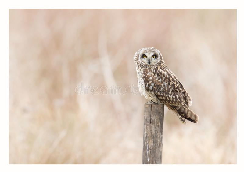 Short eared owl stock photo