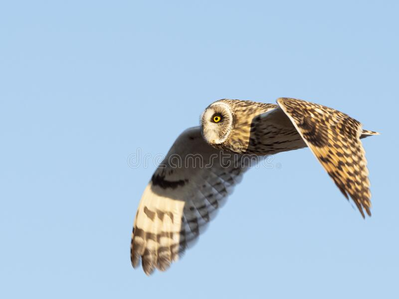 Short-eared owl in flight with blue sky background stock photography