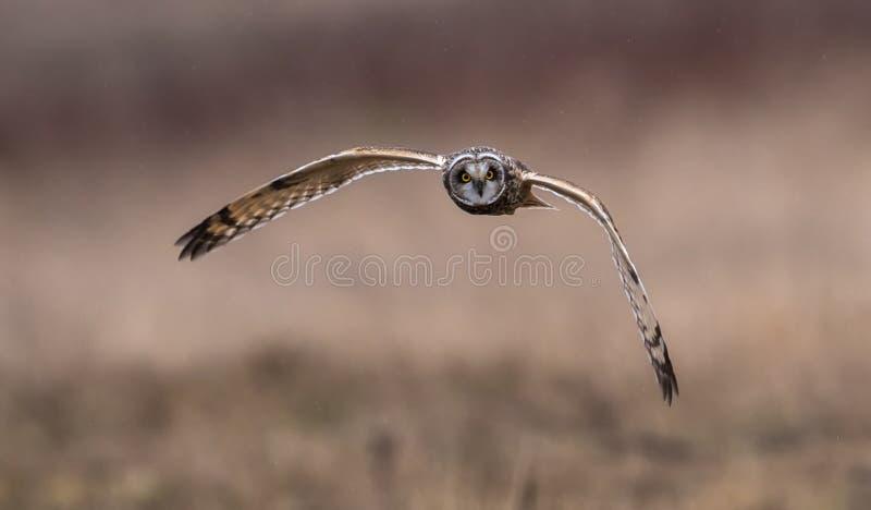 Short Eared Owl in Flight stock photos