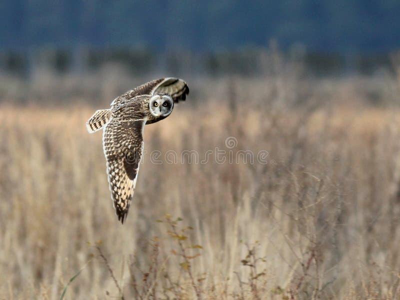 Short-eared Owl in Flight stock photos