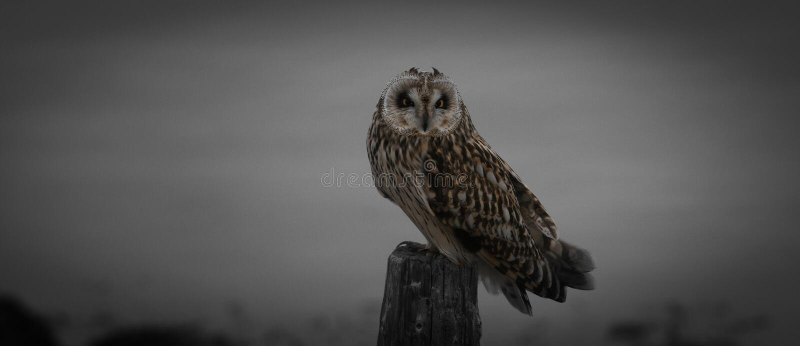Short-eared owl... stock images