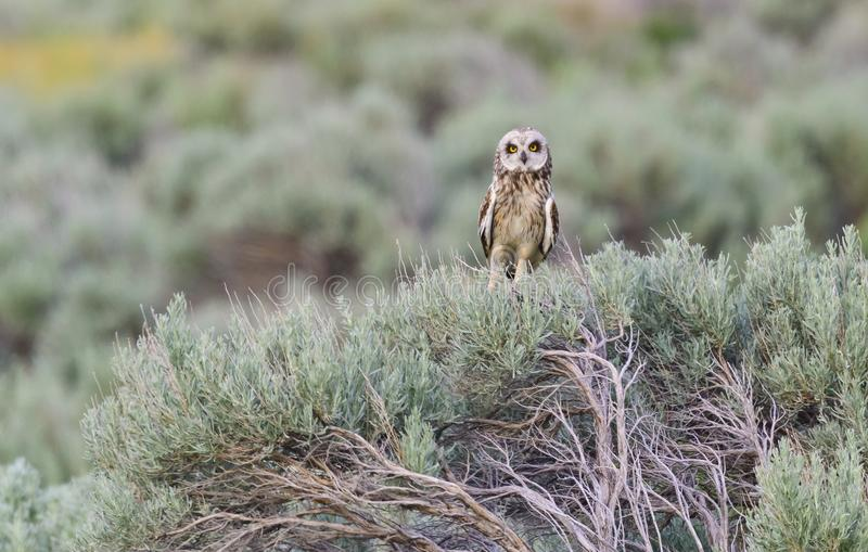 Short-eared Owl royalty free stock images
