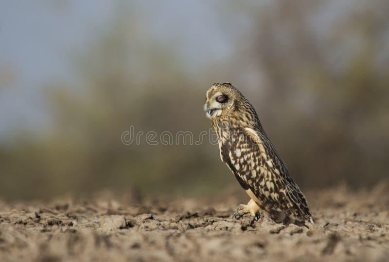 Short-eared Owl in Sleepy mood royalty free stock photos