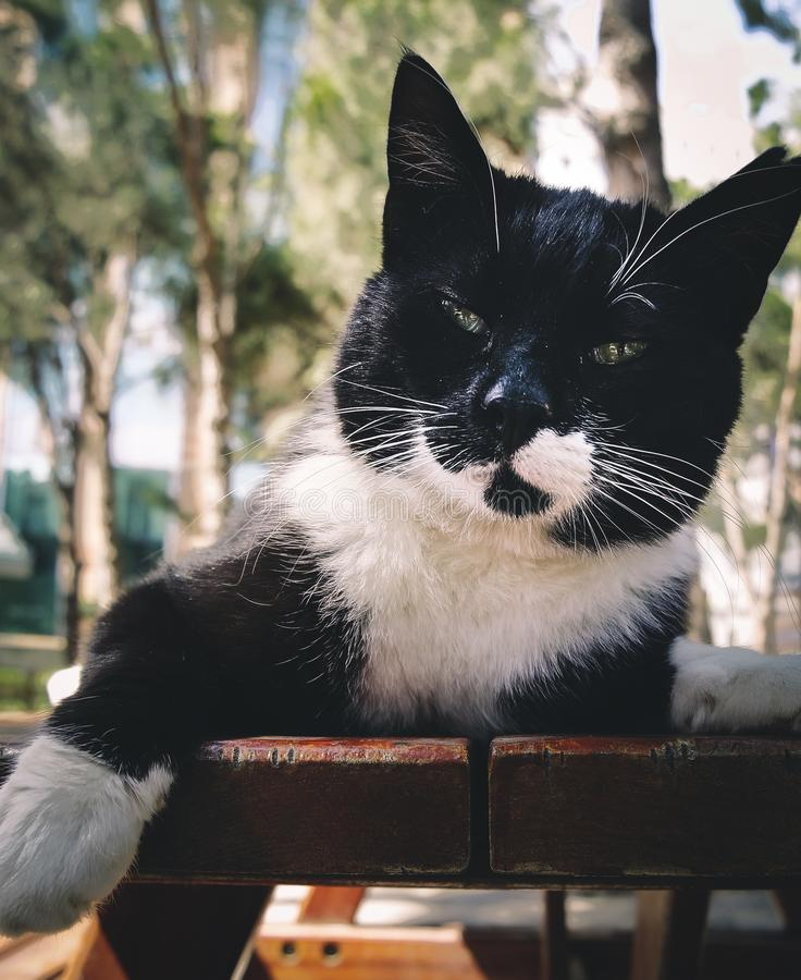 Short-fur Black and White Cat stock photography
