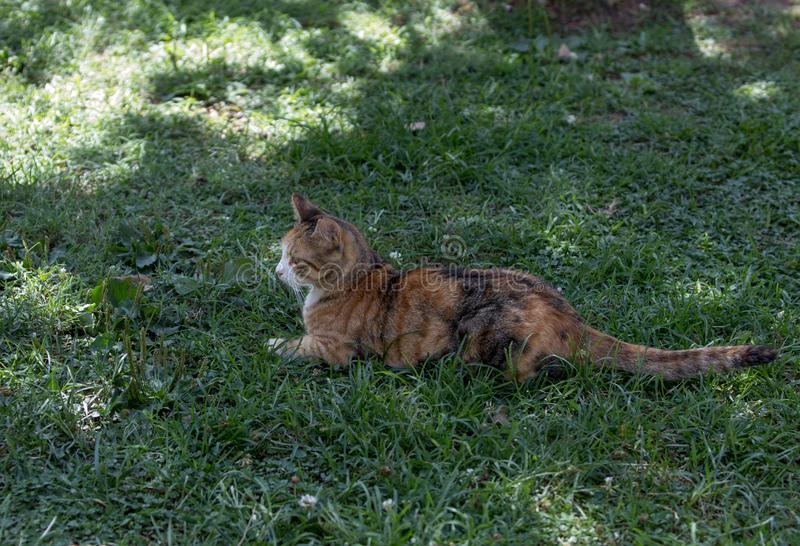 A short fur young calico cat lies under the shadows on green grass stock image