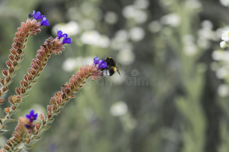 Short-haired bumblebee gathers nectar on blue meadow flowers stock photo