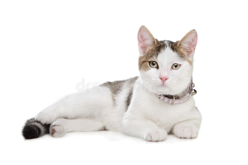Short-haired Cat Stock Images