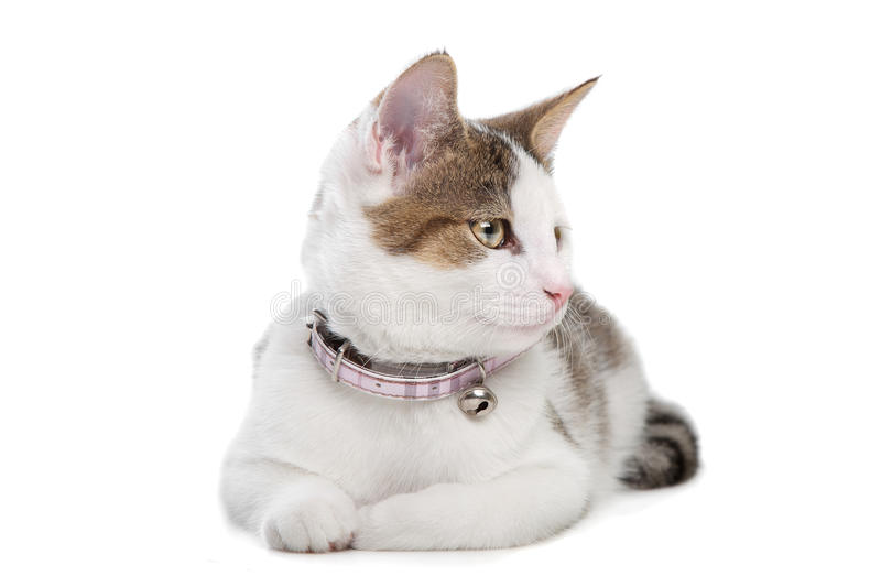 Download Short-haired cat stock photo. Image of crossbreed, shorthair - 22881190