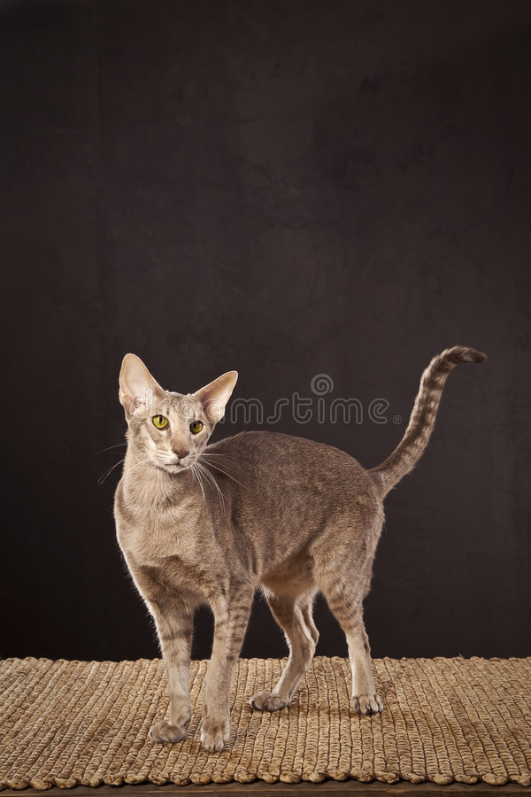 Short haired cat royalty free stock image