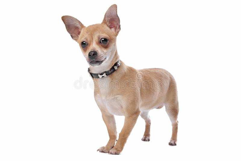 Short haired chihuahua royalty free stock images