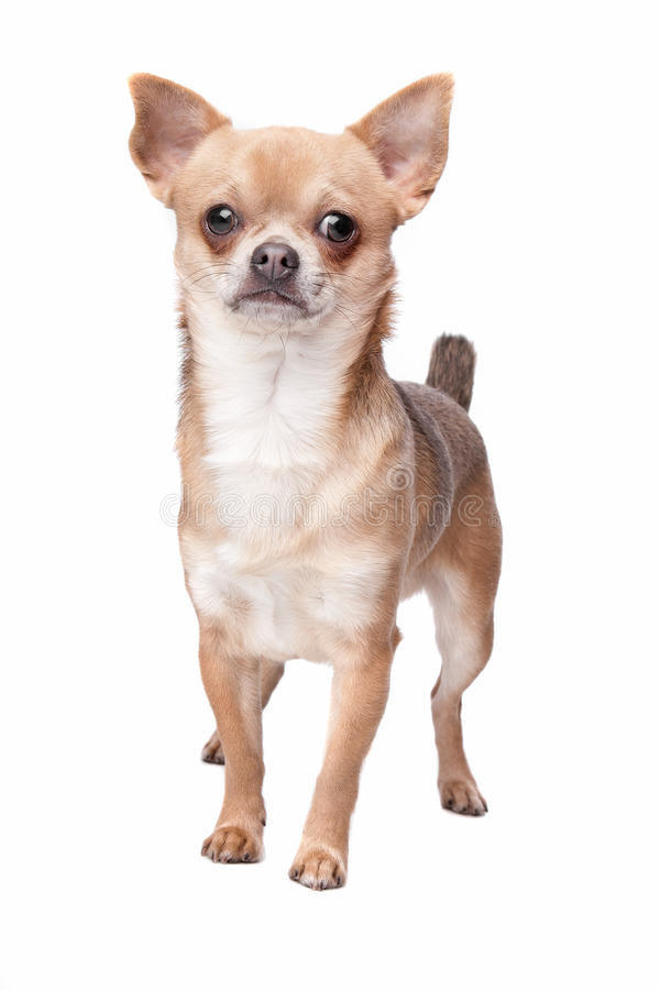 Download Short haired chihuahua stock photo. Image of studio, mammal - 24399888