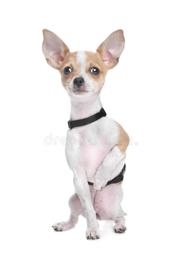 Download Short haired chihuahua stock image. Image of doggy, pure - 24404963