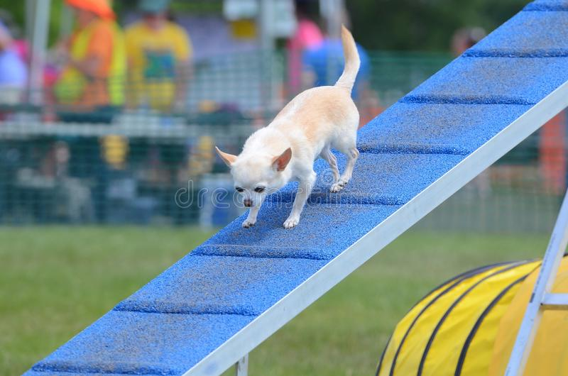 Short-Haired Chihuahua at a Dog Agility Trial. Short-Haired Chihuahua Walking on a Dog Walk ar an Agility Trial stock photography