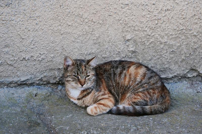 Short-haired Mackerel tabby cat rests near a building wall stock photos
