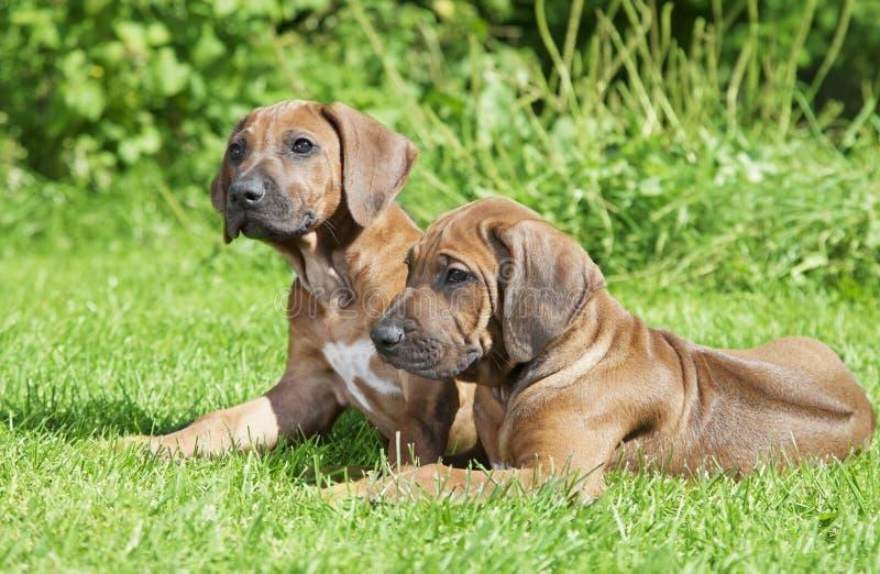 Short haired Rhodesian Ridgeback puppies outdoors stock photography