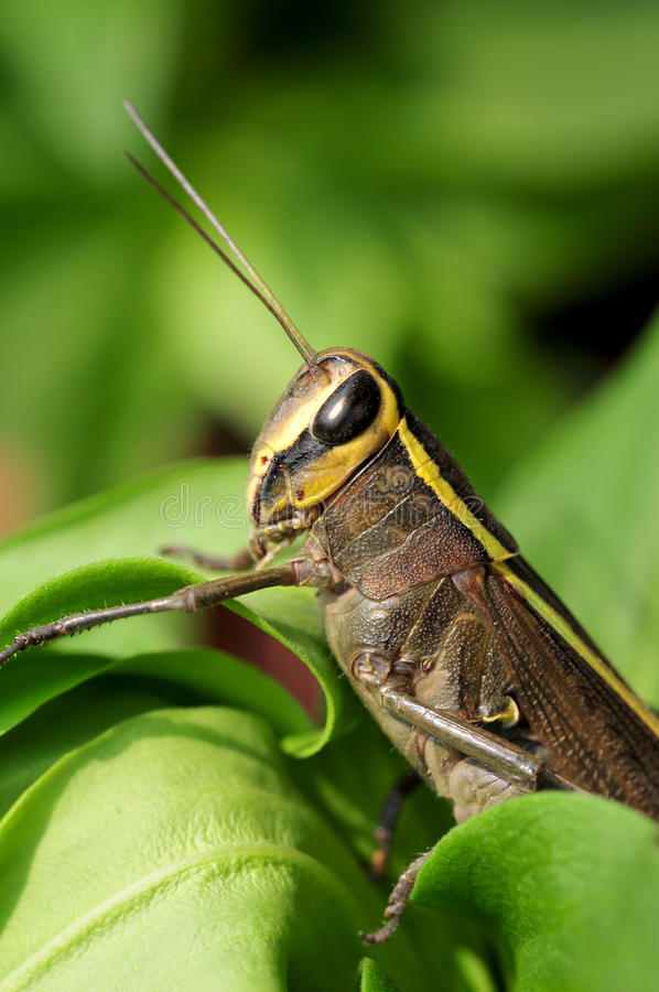 Short horned grasshopper royalty free stock photos