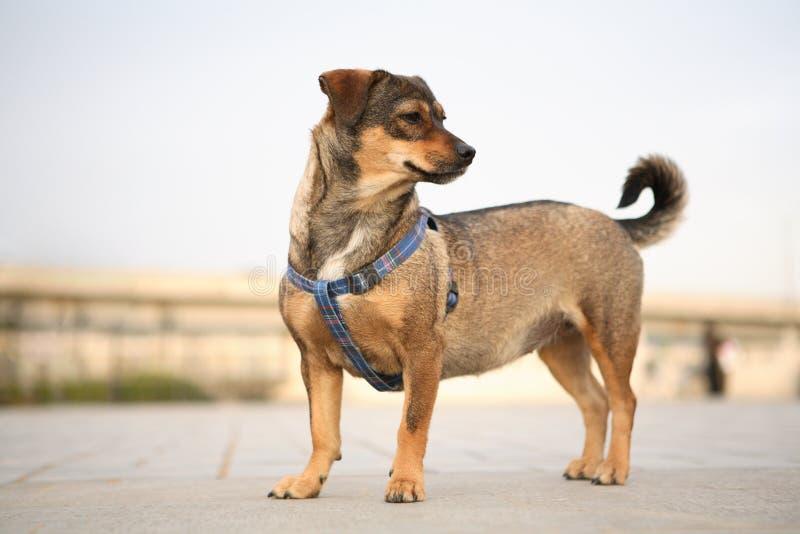 Short leg dog royalty free stock photos