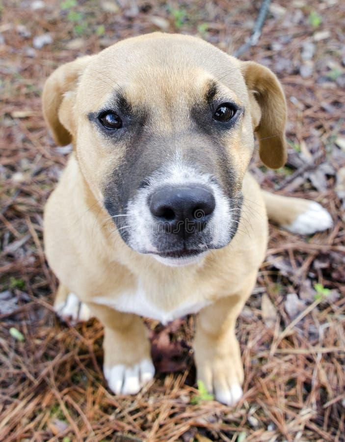 Download Short Legged Tan Mutt Puppy Dog, Georgia USA Stock Photo - Image of short, boxer: 111579124