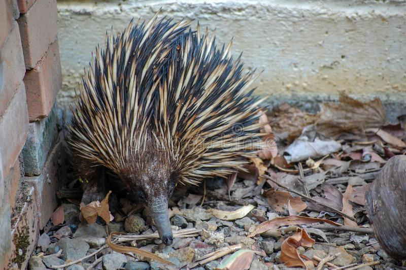 Short-nosed Echidna foraging for ants and termites amongst leaf litter. Queensland, Australia. The echidna is a monotremes, an egg-laying mammal. Its body is stock image