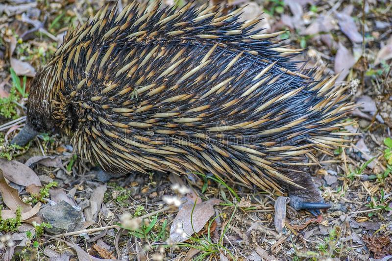 Short-nosed Echidna foraging for insects, ants and termites amongst leaf litter. Queensland, Australia. The echidna is a monotremes, an egg-laying mammal. Its stock images