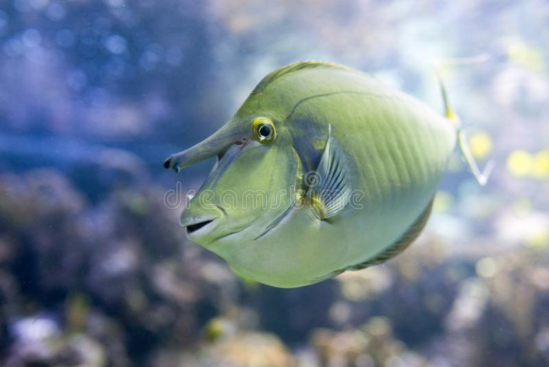 Short nosed tropical unicornfish Naso brevirostris. Swimming in the water stock images