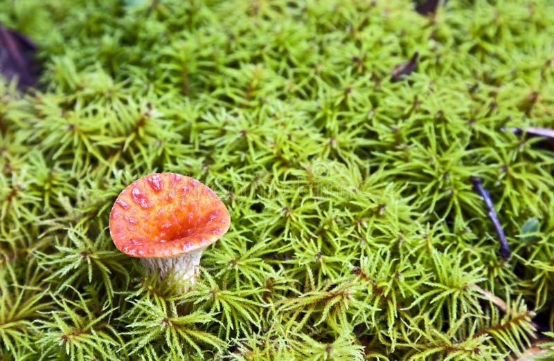 Short Orange Mushroom In Moss Stock Photography