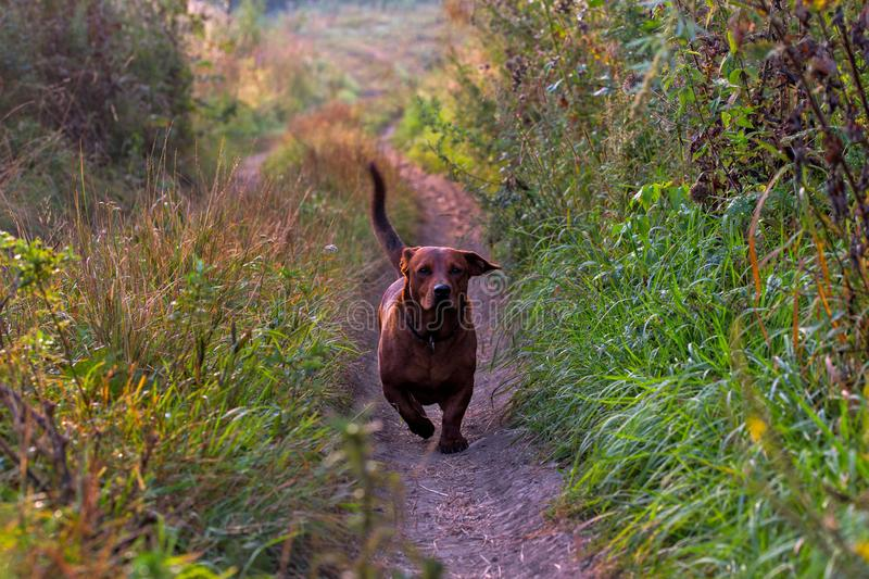 Short paws brown friendly playful adult dog approaching camera on dry dirt road pathway royalty free stock image