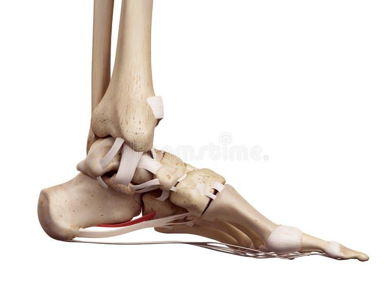 The short plantar ligament vector illustration