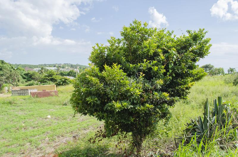 Short Sapodilla Tree. Landscape includes short sapodilla tree at base of a shallow steep descent, and edge of flat lands having more rounded shape on the sides stock images