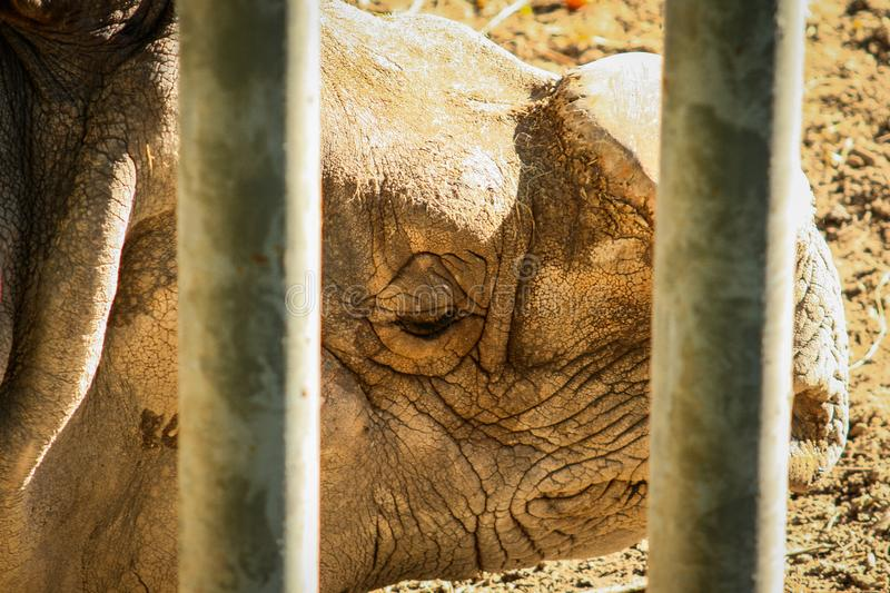 Short shot of a white rhinoceros Ceratotherium simum behind a security gate. Sad short shot of a white rhinoceros Ceratotherium simum behind some safety bars stock photography