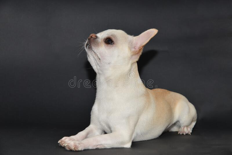 Short smooth coat Chihuahua with a swollen neck. royalty free stock photos